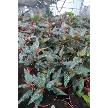 Begonia medora