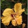 """Hibiscus rosa sinensis """"Capitolio sport"""""""