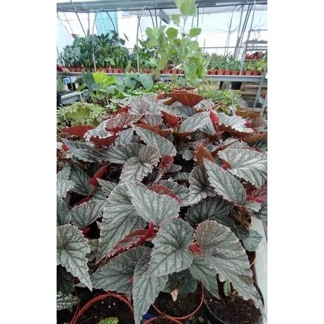 """Begonia """"Aya"""""""