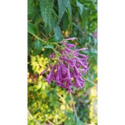 Cestrum x cultum 'Cretan Purple'