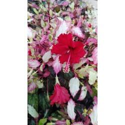 Hibiscus rosa sinensis tricolor