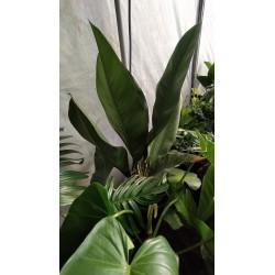Anthurium coriaceum