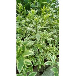 Solanum rantonetti variegata