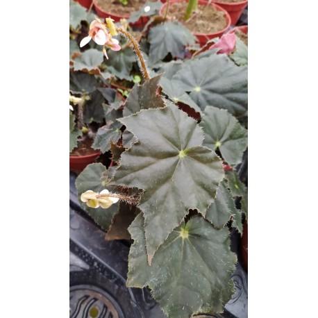 Begonia black coffee