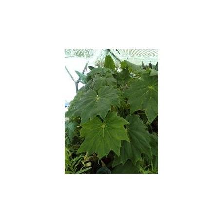 Begonia ricinifolia immense