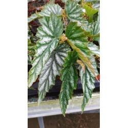 Begonia nokomis