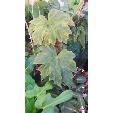Begonia caribbean king