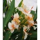 """Hedychium angustifolium """"peach"""""""